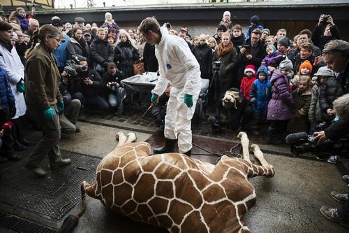"""Esta fue la """"suerte"""" que corrió la primera jirafa llamada """"Marius"""" al ser sacrificada en público para luego ser devorada por los leones del zoológico. Foto AFP"""