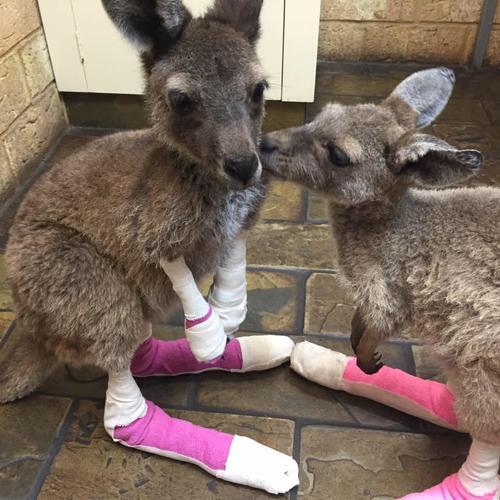 El marsupial sufrió quemaduras en sus patas y manos, por lo que es alimentado por sus cuidadores. (Foto: Facebook/Waroona Veterinary Clinic)