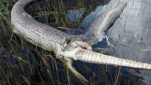 Hace 9 años se conoció que una pitón de Birmania explotó al tragar a un caimán. (Foto:BBC)