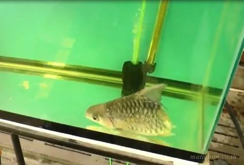 El pez vivo con su dueño medio año. (Foto: Matichon TV)