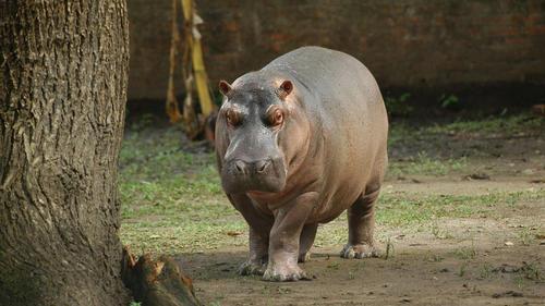 """El Hipopótamo """"Gustavito"""" en su jaula. (Foto: El Salvador)"""