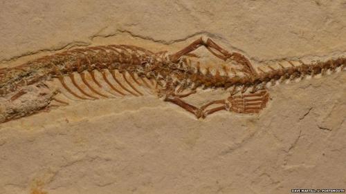 Sus extremidades miden entre cuatro y siete milímetros, mientras que el fósil tiene unos 19 centímetros.
