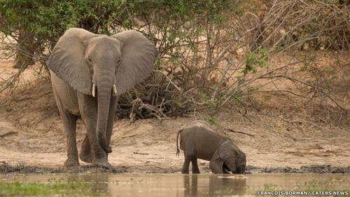 El bebé elefante venía con ganas de tomar agua.