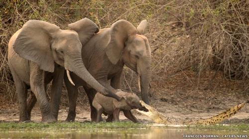 De repente, el cocodrilo se abalanzó hacia la trompa del elefante.
