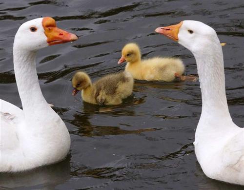 Las crías de ganso son amarillas. ¡Así era mi Cuaki! (Foto: noticias.latam.msn.com)