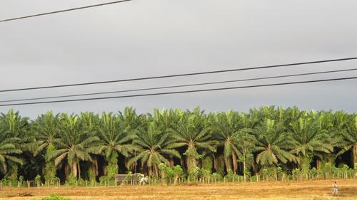 La palma africana es uno de los monocultivos que más terreno ha ganado en el territorio nacional. (Foto: CPR-Urbana)