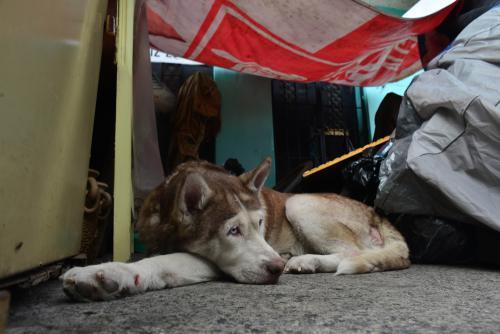Niki, una husky de 10 años, está desesperada por ingresar a su casa. Ella es una de las perritas de don Hilman. (Foto: Jesús Alfonso/Soy502)