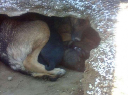 La pastor alemán protegía a sus cachorritos en este lugar. (Foto: upsocl)