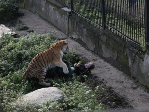 Los visitantes del lugar distrajeron por un momento al tigre, lo cual fue aprovechado por la mujer para escapar. (Foto: 5-tv.ru)