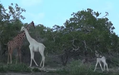 Las jirafas conviven con otras, de diferente color (Foto: YouTube)