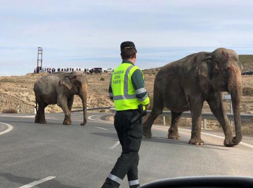 Se vuelca tráiler con cinco elefantes en España