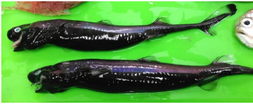 Hace pocos días se encontraron ejemplares de estos extraños tiburones. (Foto: Infobae)