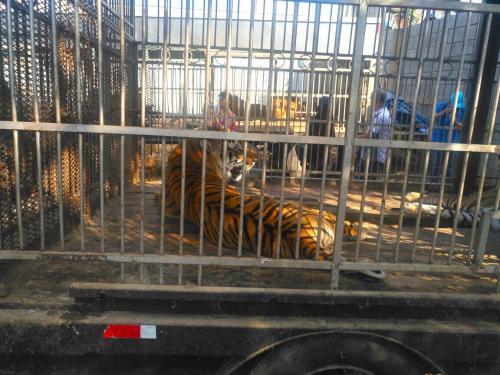 La delegación del Conap indicó que los animales cuentan con los permisos para pertenecer a una colección circense. (Foto: Conap)