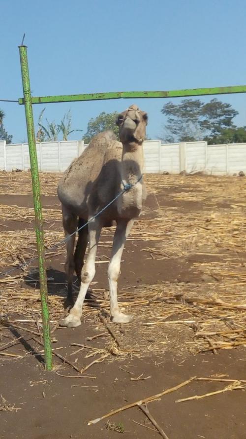 Un camello también forma parte de la colección del circo que desde hace meses se estableció en este pequeño poblado. (Foto: Conap)