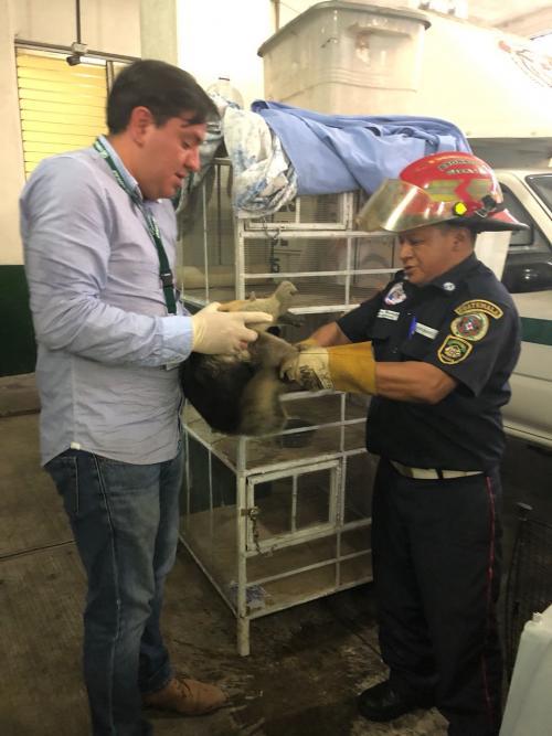 Los Bomberos Municipales entregaron el animal a los delegados del Conap. (Foto: Conap)