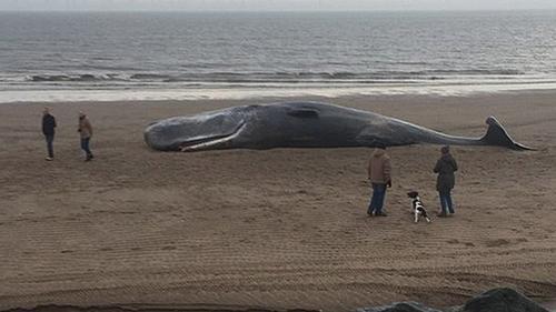 Expertos indican que alrededor de 600 cetáceos quedan varados en las costas del Reino Unido. (Foto: Daily Mail)