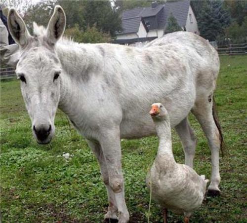 Los gansos son muy inteligentes y resultan buenos animales de granja. En ocasiones se les prefiere a los perros porque son guardianes. (Foto: comunidade.sol.pt)