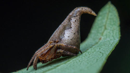 Esta es la nueva araña descubierta, Eriovixia gryffindori. (Foto: Actualidad RT)