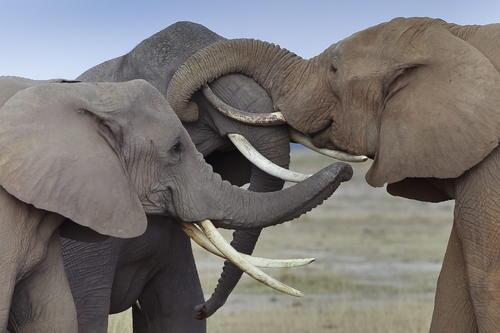 Tres elefantes frotan sus colmillos entre ellos en el Parque Nacional Amboseli, al sur de Kenia, durante el atardecer del pasado 9 de octubre de 2013. Algunos de estos mamíferos están en peligro de extinción debido a la caza de los furtivos para arrancar sus cuernos y colmillos, a los que atribuyen propiedades medicinales y afrodisíacas en países de Asia, destino de muchos de estos cargamentos ilegales. (Foto: Dai Kurokawa/EFE)