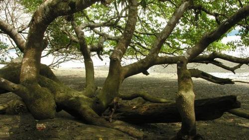 El árbol es frondoso y no tan alto. (Foto: eldiariony.com)