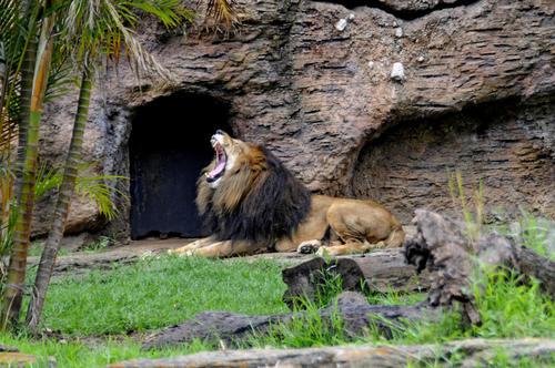 En el Zoológico también se rescatan y cuidan animales en peligro, como ejemplo este león de la Aurora que fue encontrado en las faldas del Volcán de Pacaya abandonado por un circo local. (Esteban Biba/Soy502)