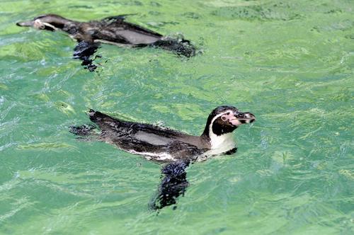 Los Pingüinos de Humboldt han duplicado las visitas a La Aurora desde su llegada al parque. (Esteban Biba/Soy502)