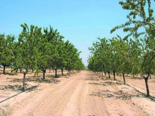 Los almendros también se han visto afectados y la pérdida es alta para los agricultores. (Foto: Proalmendra)