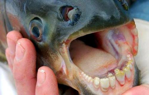 La especie tiene dientes, pero no es carnívora. (Foto: Noticias SC)