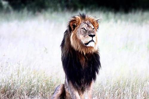 La caza de Cecil, el León, fue considerado como un asesinato cruel y sin escrúpulos, por lo que buscan que se aplique todo el peso de la Ley al cazador. (Foto: Archivo)