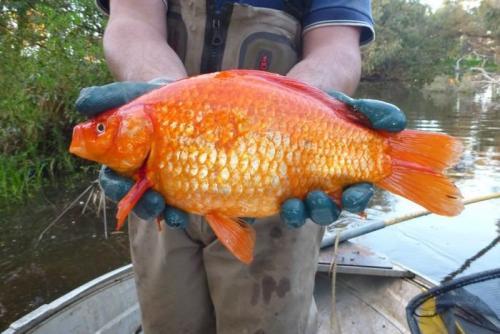 Un Pez Dorado de 2 kilogramos. (Foto: ABC News Perth)