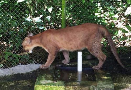 Tras llegar con un evidente desgano, el felino ya ha vuelto a ser activo como los demás representantes de su especie. (Foto Conap)