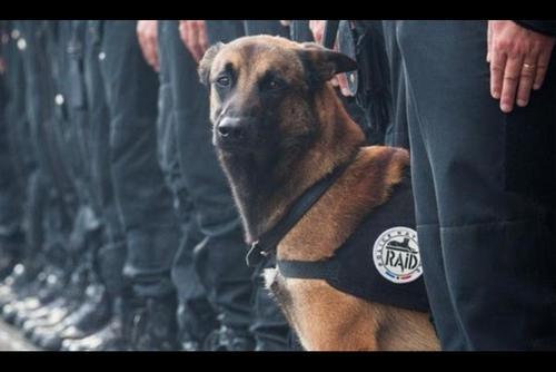Ella es Diesel, la perra policía que murió durante los operativos antiterroristas. (Foto: Archivo)