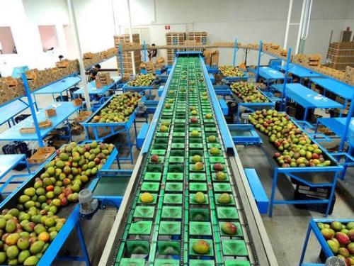 Guatemala exporta mango a Estados Unidos y Europa. (Foto: Distribuidora de Frutas Tropicales, S.A.)