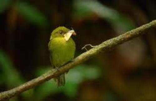 El ave Sapayoa se caracteriza por su pequeño tamaño, su color oliva y por su garganta amarillenta. (Foto: Unvegan)
