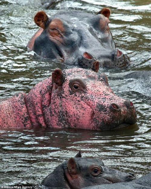 La condición del hipopótamo se debe a una extraña enfermedad que provoca estas manchas.