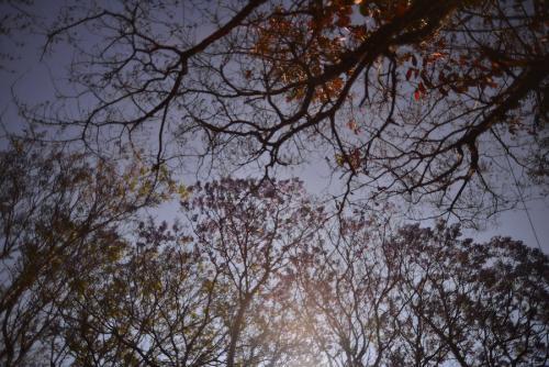 Así se cuajan de flores las ramas de jacaranda. (Foto: Wilder López/Soy502)