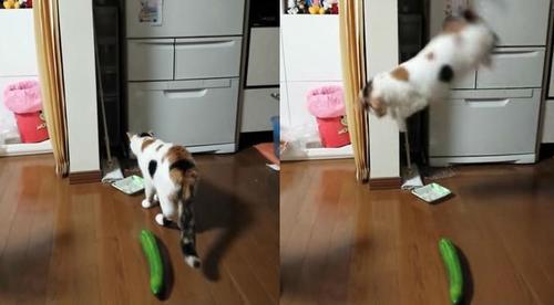 Estos gatos reciben tremendo susto por la presencia de un pepino. (Foto: tctelevisión.com)