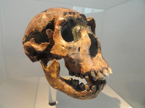 Imagen de la calavera de un 'Homo ergaster' de kenia, incluido en el estudio. (Foto: wikimedia.org)