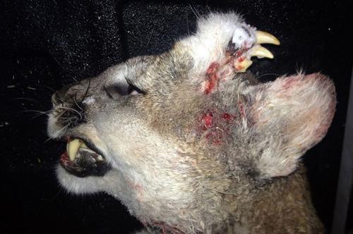 Fotografía del puma encontrado en Idaho.