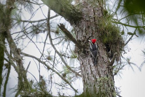 El pájaro Carpintero Real o es una de las especies que todavía subsisten en el área. (Foto: George Rojas/Soy502)