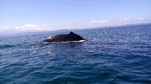 Conap está coordinando grupos de sensibilización para que la ballena no sufra ataques. (Foto: Daniel Bro)