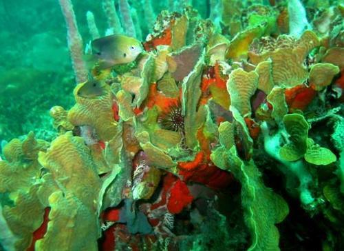 La estructura del coral es blanca pero los diferentes colores que presentan se debe a unas microalgas que viven con ellos. (Foto: Ana Giró)