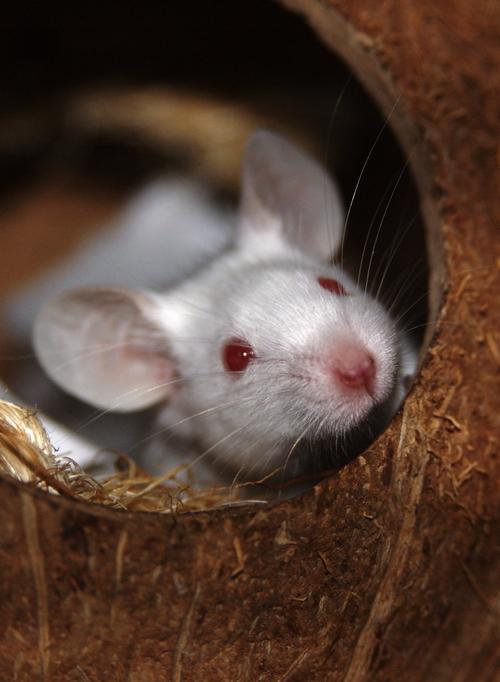 Los ratones fueron inducidos a desarrollar distintos tipos de cáncer y luego de un mes los resultados fueron impresionantes. Los ratones con acceso a la rueda desarrollaron tumores cancerígenos más pequeños que los que no. (Foto: www.freeimages.com)