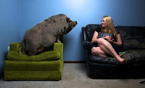Un mini pig adulto pesa entre 30 y 60 kilos. (Foto: Upsocl)