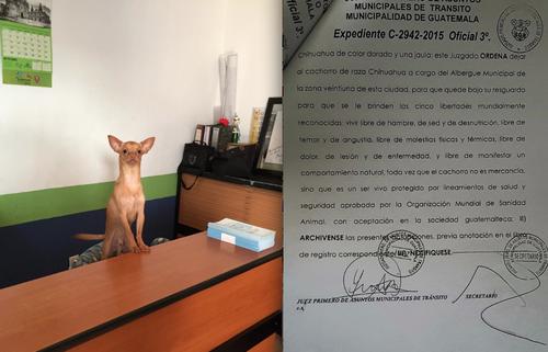 """""""Taquito"""", el perrito rescatado por la municipalidad, y que era usado como mercancía por los vendedores de """"Las Charcas"""", vivirá de ahora en adelante en el Albergue Municipal de Mascotas, gracias a la custodia ganada por la Municipalidad de Guatemala. (Foto: Albergue Municipal de Mascotas)"""