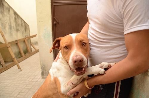 Los pitbulls necesitan amor y atención, la forma en la que son criados depende mucho de su reacción emocional. (Foto: Selene Mejía/Soy502)