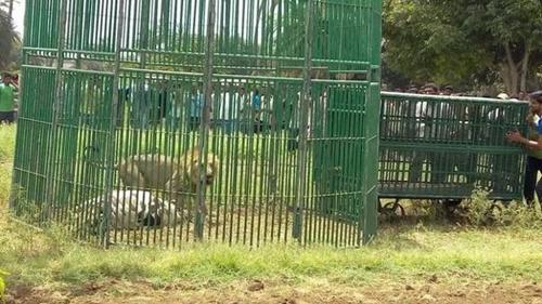 Mientras que se realizan los estudios los leones fueron ubicados en jaulas. (Foto: Prashant Dayal)