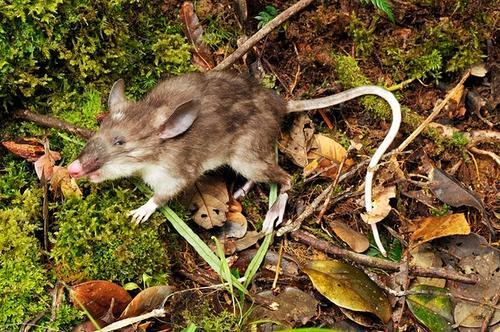 El roedor tiene el tamaño de una rata normal, con un hocico alargado, plano y rosáceo parecido al de los cerdos. (Foto: Museo Victoria)