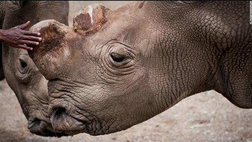 """""""Sudán"""" es uno de los pocos rinocerontes que quedan vivos y que vive vigilado para cuidar su vida. (Foto: OI Pejeta Conservancy)"""