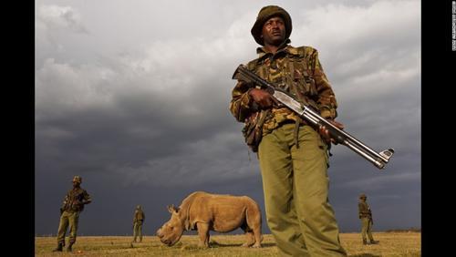 El ejército de Kenia vigilan con mucho celo a uno de los rinocerontes que aún queda vivo en ese país. (Foto: Bret Stirton)